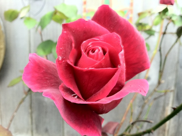 Large Deck Rose