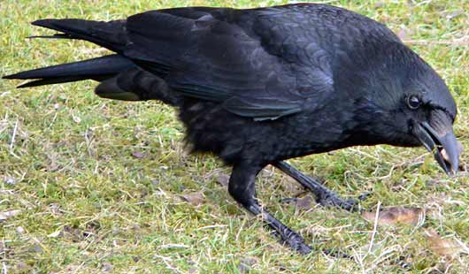 Crows, Jays, Ravens: Corvus-corvidae-carrion-crow
