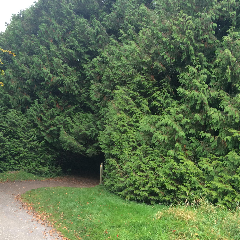 Cedar Tree Magic